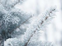 Brindilles givrées de sapin en hiver couvert de givre Photographie stock libre de droits
