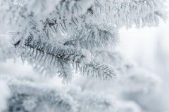 Brindilles givrées de sapin en hiver couvert de givre Photo libre de droits