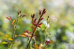 Brindilles rouges d'ANG de pétale des roses de floraison dans le jardin, heure d'été Photographie stock