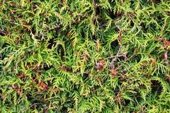 Brindilles vertes de thuja Photographie stock libre de droits