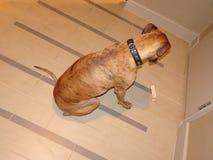 Brindle боксер умоляет для обслуживания стоковое фото rf