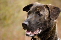 Brindle голландским смешанная чабаном собака породы стоковые изображения rf