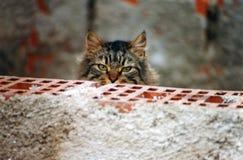 Brindle кот тщательно наблюдая за кирпичной стеной Стоковая Фотография RF