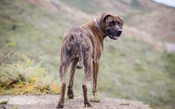 Brindle собака смотря назад Стоковые Фото