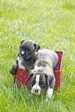 2 Brindle щенят боксера в коробке партии Стоковое фото RF