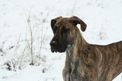 Brindle Photo stock