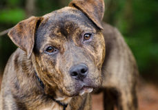 Brindle American Pit Bull Terrier mix dog portrait. Brindle Pitbull Mixed Breed Dog, Walton County Animal Control, humane society adoption photo, outdoor pet Stock Image