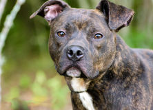 Brindle American Pitbull Terrier dog Royalty Free Stock Photo