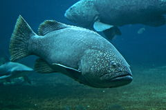 Brindle bass. The giant grouper (Epinephelus lanceolatus), also known as the brindle bass , brown spotted cod , bumblebee grouper and as the Queensland groper in Stock Photo