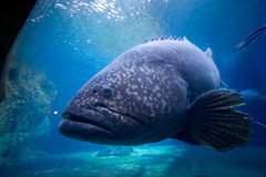 Brindle bass closeup. A massive brindle bass right next to the glass in an aquarium Royalty Free Stock Photos