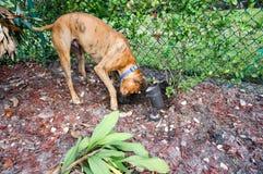 Brindle boxer burying bone Stock Photo