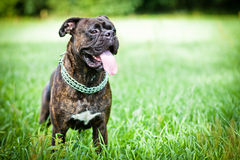Brindle boxer dog on grass Stock Photo