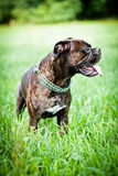 Brindle boxer dog on grass Royalty Free Stock Photography