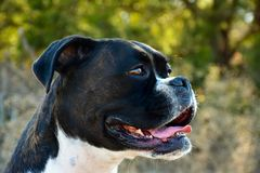 Brindle Boxer dog looking away from camera royalty free stock images