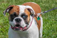 Brindle boxer dog with one brown and one blue eye Stock Images