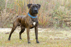Brindle Boxer Dog Pet Adoption Photography Stock Photos