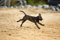 Brindle boxer lab mix dog runs into the water Royalty Free Stock Photo