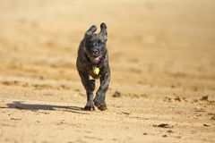 Brindle boxer lab mix dog runs into the water Stock Image