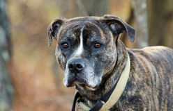 Brindle Boxer Mastiff Bulldog stock photo
