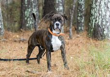 Brindle Boxer Mastiff mix dog with orange collar royalty free stock photography