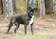 Brindle Boxer Pitbull mixed breed dog outside on leash stock images