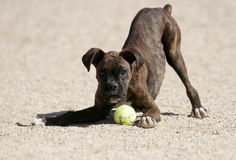 A brindle boxer playing with a ball. A brindle boxer puppy playing with a ball at the park stock photography