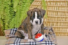 Cute Boxer puppy Dog sitting on blanket in house with toy ball. Brindle Boxer Puppy with ball sitting on blanket, looking at camera royalty free stock images