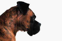 Brindle Boxerprofil Stockfoto