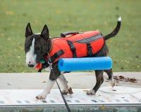 Brindle bull terrier in his swim vest. A brindle miniature bull terrier walking around the pool in his swim vest Royalty Free Stock Images