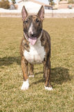 Brindle Bull Terrier Posing on lawn Royalty Free Stock Photo