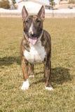 Brindle Bull Terrier Pozuje na gazonie Zdjęcie Royalty Free