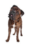 Brindle Bullmastiff. In front of a white background stock photo