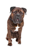 Brindle Bullmastiff Stockfotografie
