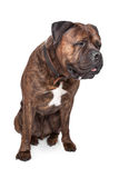 Brindle Bullmastiff Royalty Free Stock Photos