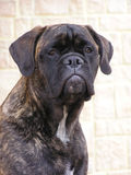 Brindle bullmastiff. The portrait of brindle bullmastiff royalty free stock images