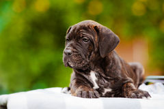 Brindle cane corso puppy Stock Photography