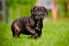 Brindle cane corso puppy walking outdoors Royalty Free Stock Photo