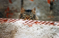 Brindle cat carefully observing behind a brick wall Royalty Free Stock Photography