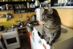 The brindle cat in the kitchen. The brindle cat is sitting on the fridge in the kitchen Stock Images
