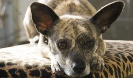 Brindle Chihuahua with big ears Stock Image