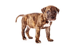 Brindle Colored Puppy Stock Images