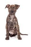Brindle Crossbreed szczeniak Siedzi Patrzeć Naprzód Obrazy Stock