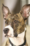 Brindle dog Royalty Free Stock Photo
