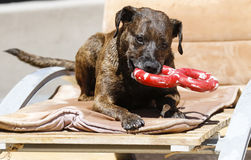Brindle dog chewing on a red toy Royalty Free Stock Photos
