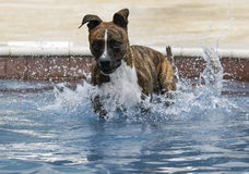 Brindle dog just landing in the pool Royalty Free Stock Photography