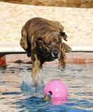 Brindle dog landing in the pool Royalty Free Stock Photography