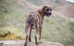 Brindle Dog Looking Back Stock Photos