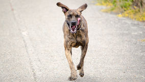 Brindle Dog Running Royalty Free Stock Photography