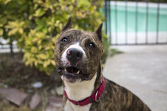 Brindle dog smiling for a portrait Royalty Free Stock Image
