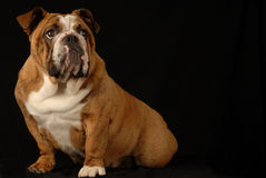 Brindle english bulldog Royalty Free Stock Images
